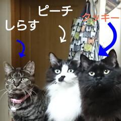 仲良し😃🍒😃/保護にゃん🐈/リミアの冬暮らし 10月に保護した、左のキジトラ猫さんのし…(1枚目)