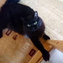 黒猫/ペット くーちゃん!爪がとれなーぃ(*_*;