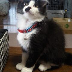 ピーチ/ペット/猫 ピーチ🐈 この子がこんなんなりました!