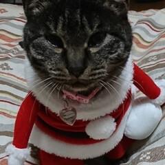 保護にゃん🐱しらす/クリスマス2019/リミアの冬暮らし 保護にゃん🐱キジトラ猫さん🎵 名前つけま…(2枚目)