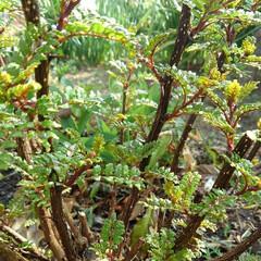 山椒の新芽/ガーデン 山椒が芽吹くと 筍ご飯が食べたくなります…
