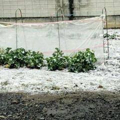 家庭菜園/雪 家の家庭菜園の場所だけ 雪が積もる 風よ…