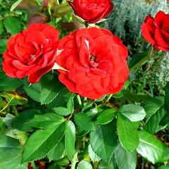 ガーデン 涼しくなって また庭の花が咲き始めました…(4枚目)