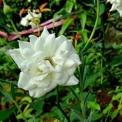 ガーデン 涼しくなって また庭の花が咲き始めました…(6枚目)