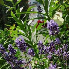ラベンダー/ガーデン/グリーン 庭のイングリッシュラベンダーに 蝶々が遊…