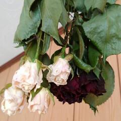 薔薇/ドライフラワー 紅白の薔薇 白は きれいにドライになって…
