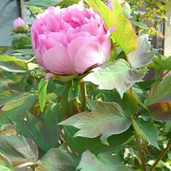 ガーデン 今朝 牡丹が咲いていました😃 3週間位早…
