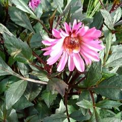 ガーデン 涼しくなって また庭の花が咲き始めました…(2枚目)