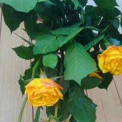 ばら/ドライフラワー 黄色い薔薇は 色があまり変わらないので …