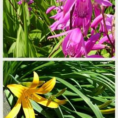 紫蘭/きすげ/ガーデン 紫蘭と きすげが咲いています🎵 きすげは…