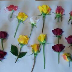 ドライフラワー作り 今 シリカゲルに入れている 花達です🎵 …