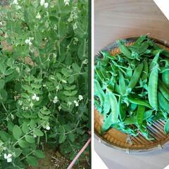 家庭菜園/絹さや 春の雪にも 負けずに 絹さや 毎日収穫で…
