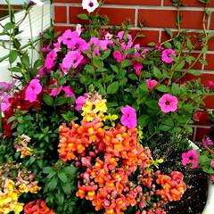 ガーデン/玄関 昨年の春に植えたサフィニアと 秋に植えた…