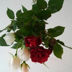 薔薇/ドライフラワー 紅白の薔薇 ドライフラワーに超戦中  チ…
