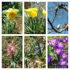 小さい春 庭も春めいてきました😃 白もくれん あと…