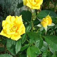 ガーデン 涼しくなって また庭の花が咲き始めました…(5枚目)