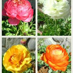 ガーデン/ラナンキュラス 球根から育てたラナンキュラスが 無事咲き…