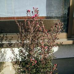 ギョリュウバイ 年末に購入して鉢植えにした ギョリュウバ…