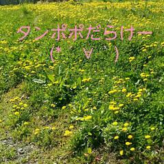 散歩中/おでかけ タンポポだらけー(*´∀`) 黄色いっぱ…