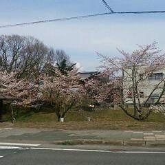 桜🌸/おでかけ 桜🌸咲きました😄 咲いたけど2日から☔ら…