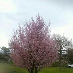桜🌸/おでかけ 住宅近くの桜🌸