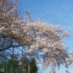 散歩中/桜🌸/おでかけ 散歩中見つけた白い桜🌸?