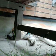 お昼寝/柴犬/癒やし/ペット マイペースのライくん🐕  今日も、同じ場…(1枚目)