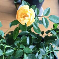 アプリコット/タウニー&カントリー/ミニ薔薇 ミニ薔薇が咲きました✨ 朝顔も枯らす私で…