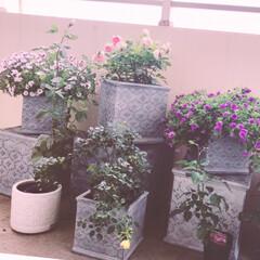 ペチュニア/薔薇/バラ園/ローラアシュレイ どんどん薔薇の苗が増えていきます✨ お世…