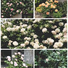 薔薇園/ローズガーデン/イングリッシュガーデン/令和の一枚/至福のひととき 薔薇のお勉強のため、薔薇園に行ってきまし…