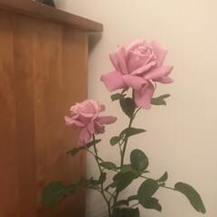 シャルル・ドゥ・ゴール/ガーデニング/壁塗り/薔薇/アニースローン/ミントグリーンの壁/... この間買った薔薇が咲いてくれました✨ 思…