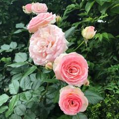 わたしの手作り/バラ/ローズ/薔薇/ガーデニング/バラの栽培/... 自宅のお庭でバラを育てています。 年々、…