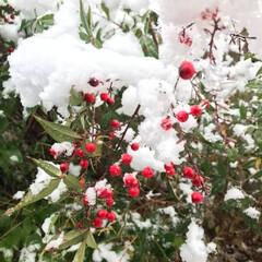 南天/雪/冬の一枚/冬/庭/冬の光景/... 昨年の12月に初雪が降った時の自宅のお庭…