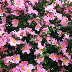 サザンカ/山茶花/さざんか/花/花木/街路樹/... 山茶花(さざんか)並木の華麗なるサザンカ…
