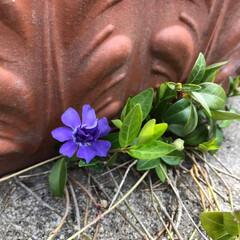 紫の花/春/逆境/テラコッタ/ガーデニング/庭/... テラコッタの下で堪え忍ぶように咲いている…