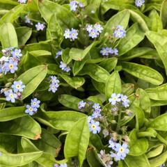 忘れな草/青い花/春/春の風物詩/恋愛成就/おまじない/... 『私を忘れないで』という花言葉を持つ『忘…