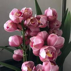 ラン科の植物/ピンクのお花/プレゼント/お気に入り/うれしい/ゴージャス 年末に戴いたピンクのお花。とっても綺麗で…