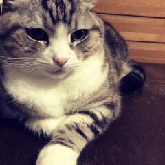 猫/ペット/にゃんこ同好会/猫アレルギー 実家の猫の「モモ」です。 猫アレルギーな…