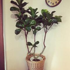 カシワバゴム/ボタニカル/観葉植物/夏インテリア/インテリア 先日一目惚れdwカシワバゴムの木を購入。…