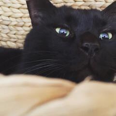 ペット/猫/黒猫/奇跡の一枚/ブサカワ/キラキラ/... 普段の写真は断とつで「ブサカワ」写真が多…