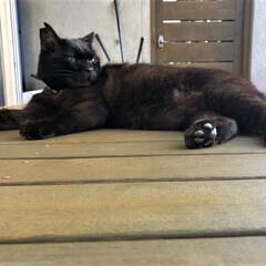 猫/ペット/家族の一員/黒猫/愛猫/魅力/... 【たまにはカッコいい】 普段はブサカワだ…(1枚目)