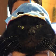 ペット/黒猫/猫/お気に入り/ダイソー/帽子/... 我が家に迷い猫でやってきたさくら耳のクー…