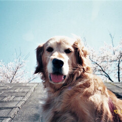 春の一枚/ペット/愛犬/犬/ドッグ/ゴールデンレトリバー/... 私の春の1枚と言えばこれ♪ 18年前、実…