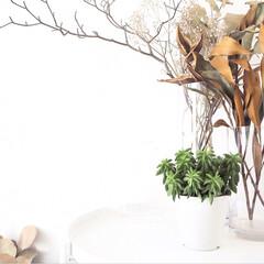 購入/多肉植物/観葉植物/ペペロミアニパドラ/フィカスウンベラータ/フィカスベンガレンシス/... 新入りのペペロミアニパドラちゃん。 可愛…