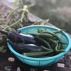 夏野菜/秋茄子/家庭菜園/花 今朝の収穫…先日から秋茄子の収穫、今日で…