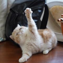 はなぺちゃ/うちの子自慢/猫好き/ぶさかわ/にゃんこ同好会/肉球/... はぁ〜い🙋♀️
