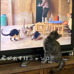 ねこ同好会/ねこ部/ねこ/猫/テレビボードDIY/ダイニング/... 世界猫歩き好きで 30分くらいずーと見て…