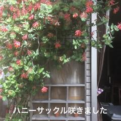 エクステリア/植物/庭づくり/DIY/暮らし 庭のハニーサックルが満開です。 和名では…