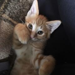 猫/猫大好き 実家に嫁入りの予定でしたが 急遽我が家の…