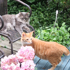 庭/ウッドデッキDIY/椅子 /エクステリア/ステイホーム/ねこ/... 猫ども庭でのんびり この椅子はお気に入り…